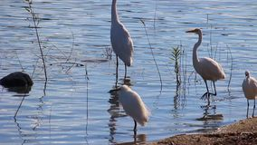 Egrets walking on lake shoreline. stock footage