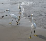 Egrets Looking For Handouts Stock Photo