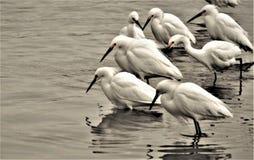 Egret Feeding Frenzy stock photo