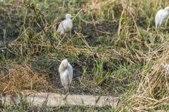 egrets wielcy zdjęcie royalty free