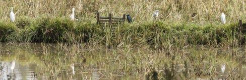 egrets wielcy zdjęcie stock