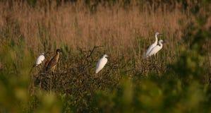 Egrets y garzas en luz caliente de la puesta del sol Fotografía de archivo