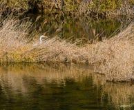 Egretta adulta che si nasconde in canne marroni alte Immagine Stock Libera da Diritti