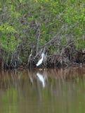 Egretta al parco nazionale dei terreni paludosi Fotografie Stock Libere da Diritti