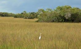 Egretta al parco nazionale dei terreni paludosi Immagini Stock