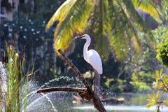 Egretta asiatica Fotografia Stock Libera da Diritti