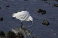 Egretta bianca che cerca alimento Immagine Stock Libera da Diritti