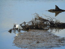 Egretta bianca che guada Fotografie Stock