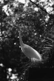 Egretta bianca che sta sulla costruzione Fotografia Stock Libera da Diritti