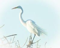 Egretta bianca comune Fotografie Stock Libere da Diritti