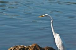 Egretta bianca nella grande prerogativa di Cypruss Immagine Stock Libera da Diritti