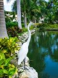 Egretta bianca sull'orlo di uno stagno fra le palme nella Repubblica dominicana immagini stock