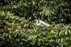 Egretta branco Garzetta do pássaro adulto na árvore Pouco egret na cidade de Taipei do parque imagem de stock