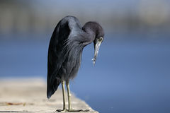 Egretta caerulea, little blue heron Royalty Free Stock Image