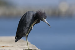 Egretta caerulea, little blue heron Stock Photo