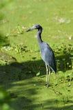 Egretta caerulea, little blue heron Royalty Free Stock Photos
