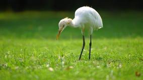Egretta che cerca l'alimento nel parco fotografia stock libera da diritti