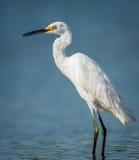 Egretta che guada nella baia della Giamaica Fotografia Stock Libera da Diritti