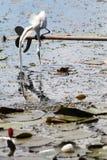 Egretta che si siede sul ramo Fotografia Stock