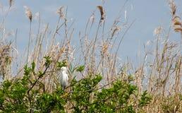 Egretta che sta la sua posta sul ICW nel canale sul lato ovest del lago Okeechobee fotografia stock libera da diritti