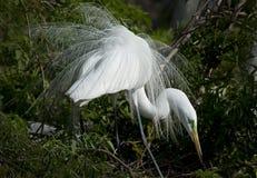 Egretta che visualizza le sue piume vistose di allevamento, Florida centrale bagnata Immagine Stock Libera da Diritti