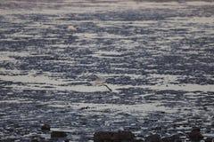 Egretta che vola in basso sopra la bassa marea nell'area di mare di Bohai fotografie stock