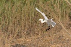 Egretta che vola dentro per un atterraggio fotografie stock