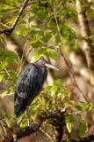 Egretta d'oiseau de héron de Tricolored tricolore Photographie stock