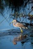 Egretta d'oiseau de héron de Tricolored tricolore dans un étang Photos stock