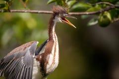 Egretta del pájaro de la garza de Tricolored del bebé tricolor en un árbol imagen de archivo