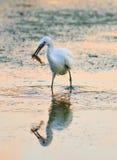 Egretta dell'egretta che mangia un pesce Immagine Stock