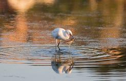 Egretta dell'egretta che mangia un pesce Fotografia Stock Libera da Diritti