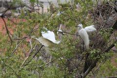 Egretta della neve sull'albero Fotografie Stock