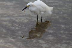 Egretta di Florida con il pesce immagini stock libere da diritti