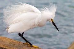 Egretta di Snowy fotografia stock