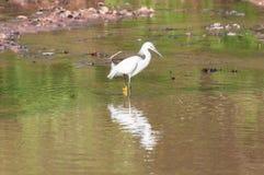 Egretta di Snowy che cammina lungo il fronte lago che cerca un certo alimento Immagini Stock