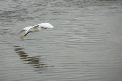 Egretta di Snowy che vola in basso sopra l'acqua bassa in Florida Fotografia Stock