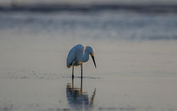 Egretta di Snowy, piume crescere, San Carlos Bay, spiaggia Pres di Bunche Fotografia Stock Libera da Diritti