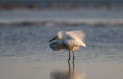 Egretta di Snowy, piume crescere, San Carlos Bay, spiaggia Pres di Bunche Immagini Stock
