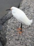 Egretta di Snowy sulla parte posteriore dell'alligatore Fotografie Stock