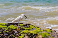 Egretta di Snowy in una spiaggia fotografia stock libera da diritti