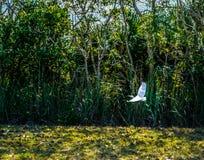 Egretta di Snowy in volo sopra il lago Fotografia Stock