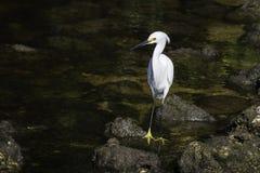 Egretta di Snowy White fotografie stock libere da diritti