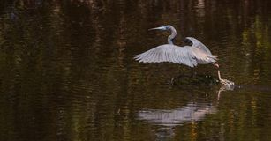 Egretta do pássaro da garça-real de Tricolored tricolor em uma lagoa Imagem de Stock Royalty Free