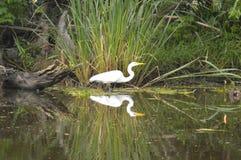 Egretta e riflessione nel ramo paludoso di fiume Fotografie Stock Libere da Diritti