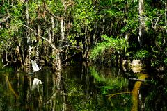 Egretta ed alligatore di Snowy in una palude insieme Fotografia Stock