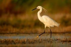 Egretta Garzetta маленького Egret стоя в заболоченном месте и охотиться Стоковая Фотография RF