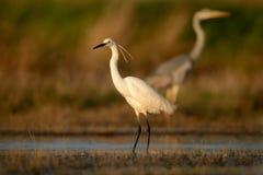 Egretta Garzetta маленького Egret стоя в заболоченном месте и охотиться Стоковые Изображения RF