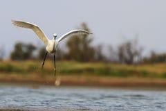 Egretta garzetta, das über die Küste fliegt Stockbild