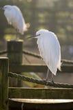 Egretta Garzetta dell'egretta fotografia stock